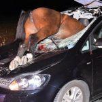 Info Shqip: Aksident i pazakontë, kali përplaset me xhamin e makinës