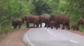 Info Shqip: Elefantët mbajnë një 'procesion funerali' për të voglin e ngordhur (VIDEO)