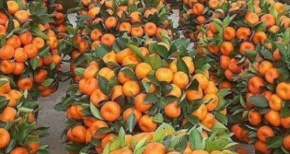 Info Shqip: Koha e mandarinave, kujdes nëse hani shumë, mund të përfundoni te mjeku